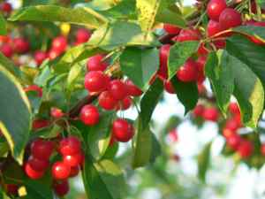 tart%20cherries