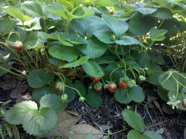 driveway_strawberries